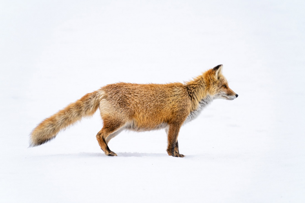 Red Fox in the snow field